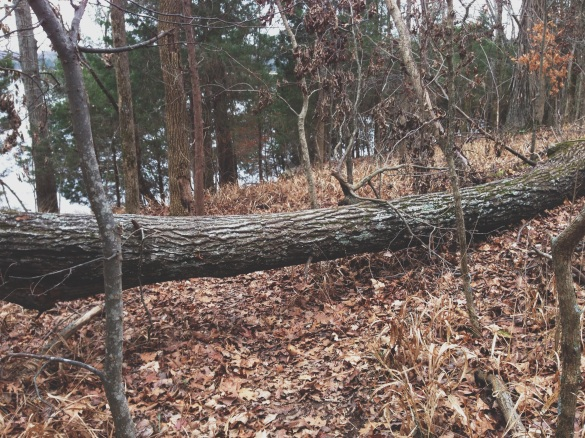 Tree blocking trail at Long Hunter State Park